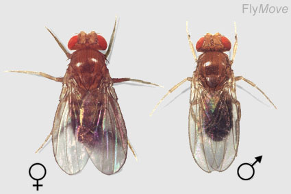 Drosophila Melanogaster Life Cycle. What is Drosophila? flies